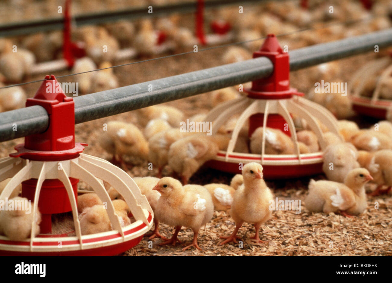 Agriculture industry: Mass production chicken industry - Stock Image