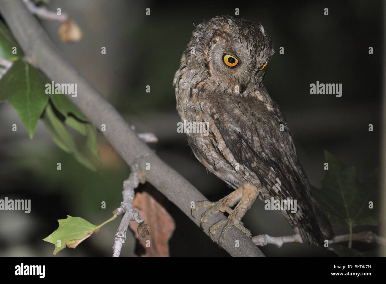 Eurasian scops owl on a branch at night - Stock Image