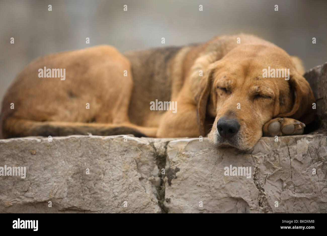 A dog sleeps in Yohualichan on the outskirts of Cuetzalan del Progreso, Mexico - Stock Image