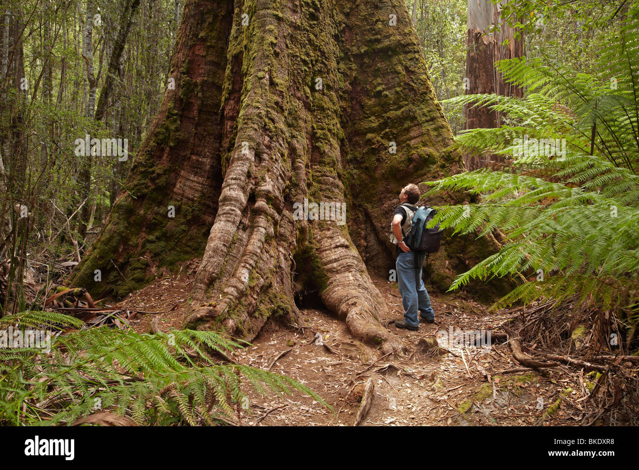 Giant Swamp Gum ( Eucalyptus regnans ), Tall Trees Walk, Mount Field National Park, Tasmania, Australia - Stock Image