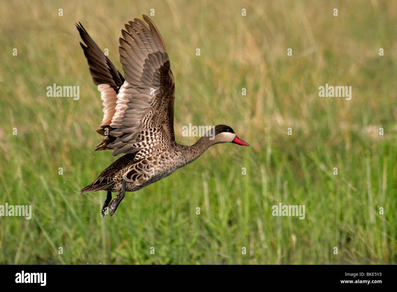 Red-billed teale in flight - Stock Image