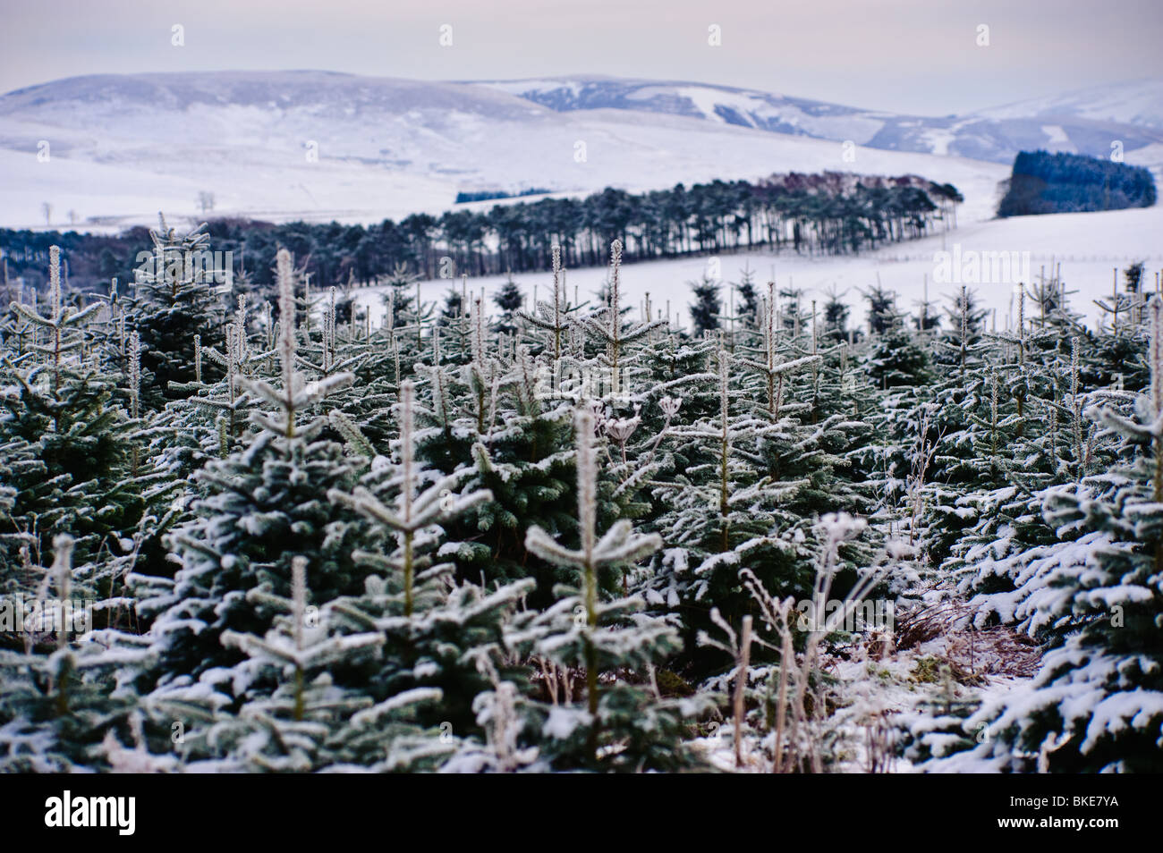 Christmas Tree Farm Snow High Resolution Stock Photography And Images Alamy