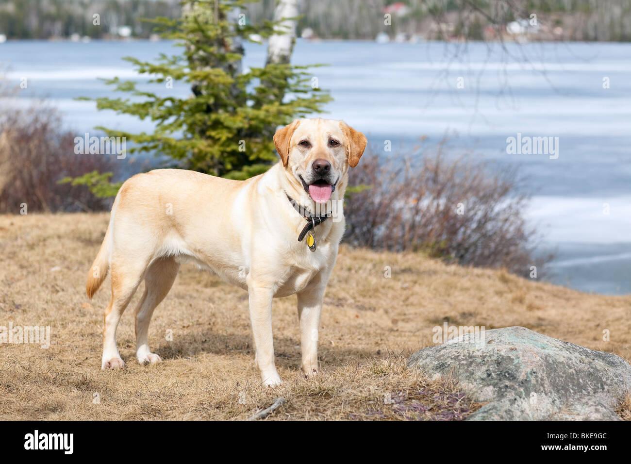 Yellow Labrador Retriever, Trout Lake, Ontario, Canada - Stock Image