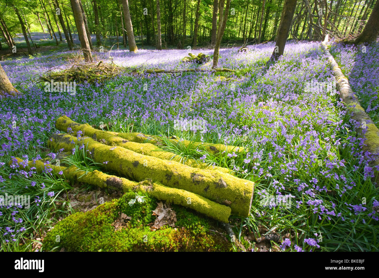 Bluebells in spring woodland Ambleside Cumbria UK Like many plants they are responding to climate change by flowering - Stock Image