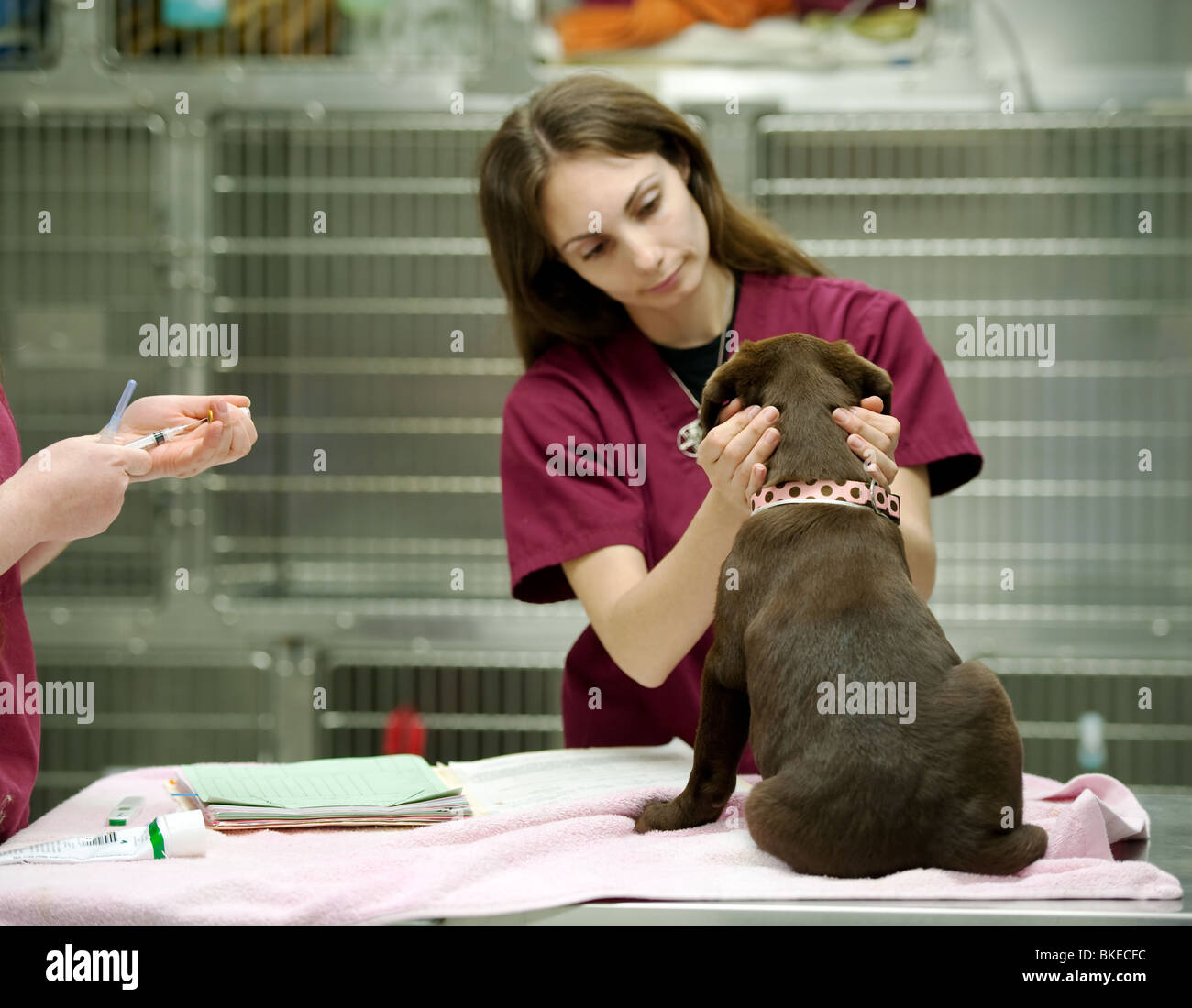 veterinary assistant prepares a vaccine shot - Stock Image