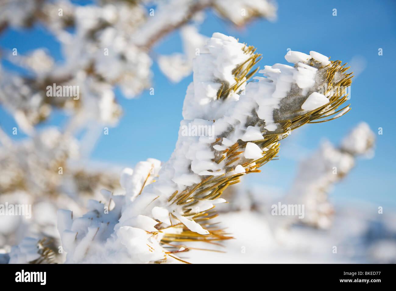 Snow On A Tree - Stock Image