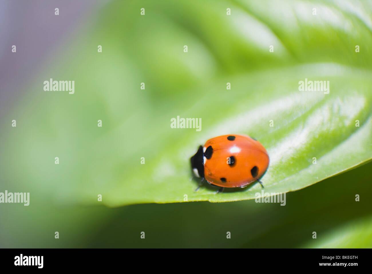 Ladybug On A Leaf - Stock Image