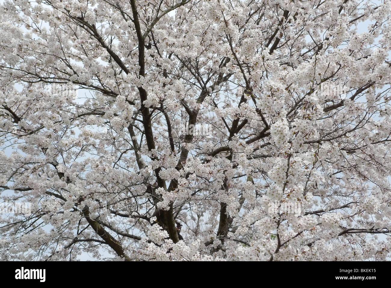 Cherry blossom/ sakura, in bloom, in spring in Japan - Stock Image