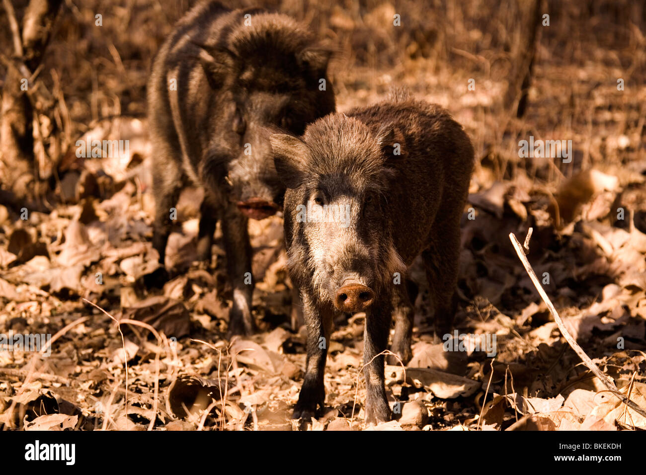 Wild Boars stand on dry foliage in Sasan Gir National Park, Gujarat, India. - Stock Image