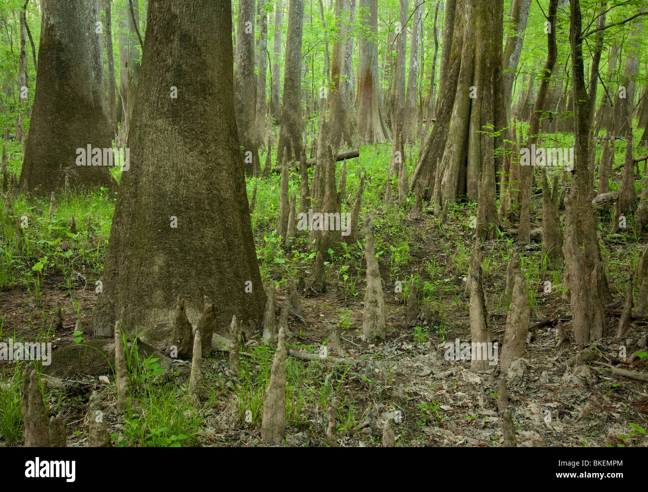 old-growth bottomland forest, Congaree National Park, South Carolina Stock Photo