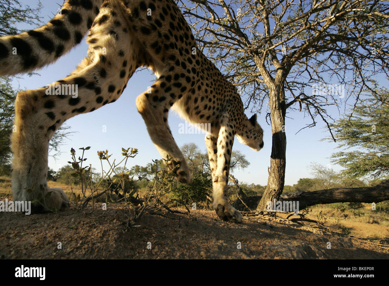 Wide Angle photo of a cheetah stalking - Stock Image
