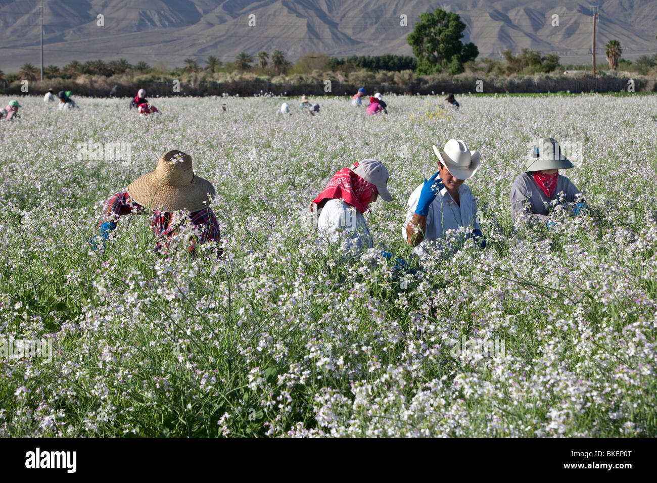 Workers harvesting seed pods of Daikon radish. flowering field. - Stock Image