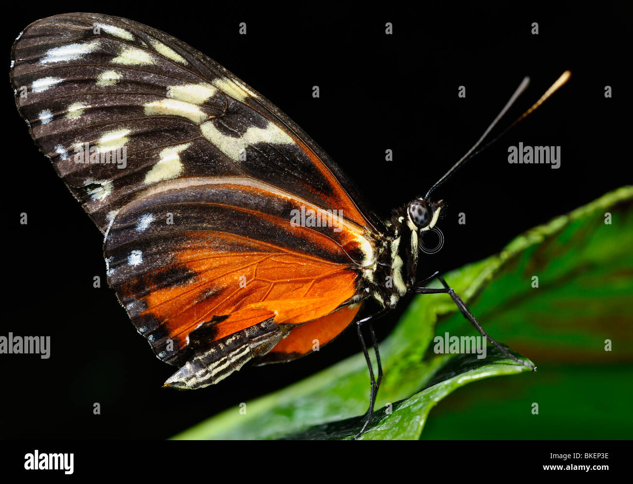 Wing texture of Eueides Isabella longwing butterfly on a leaf against black background - Stock Image