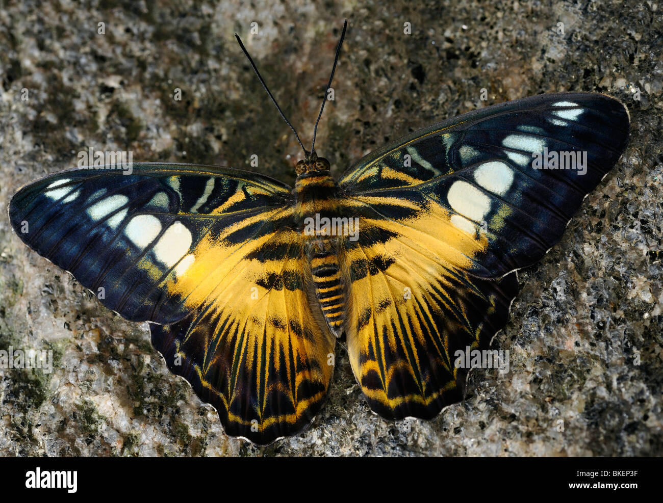 Brown Clipper butterfly Parthenos Sylvia sidelit on a granite rock - Stock Image