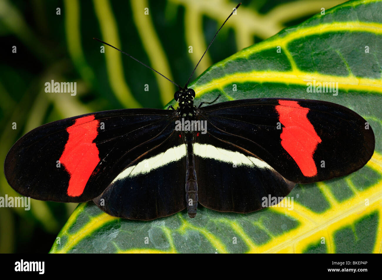 Red Postman Heliconius Erato butterfly on Sanchezia nobilis tropical plant leaf - Stock Image