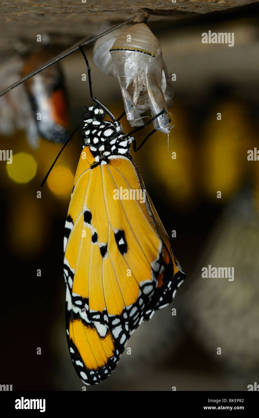 Newly emerged Plain tiger butterfly Danaus chrysippus hanging from the pupa - Stock Image