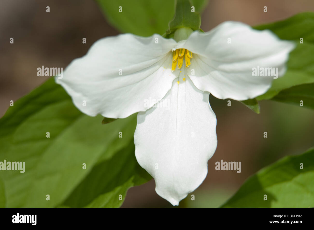 The White Trillium Is The Official Flower Of The Province Of Ontario