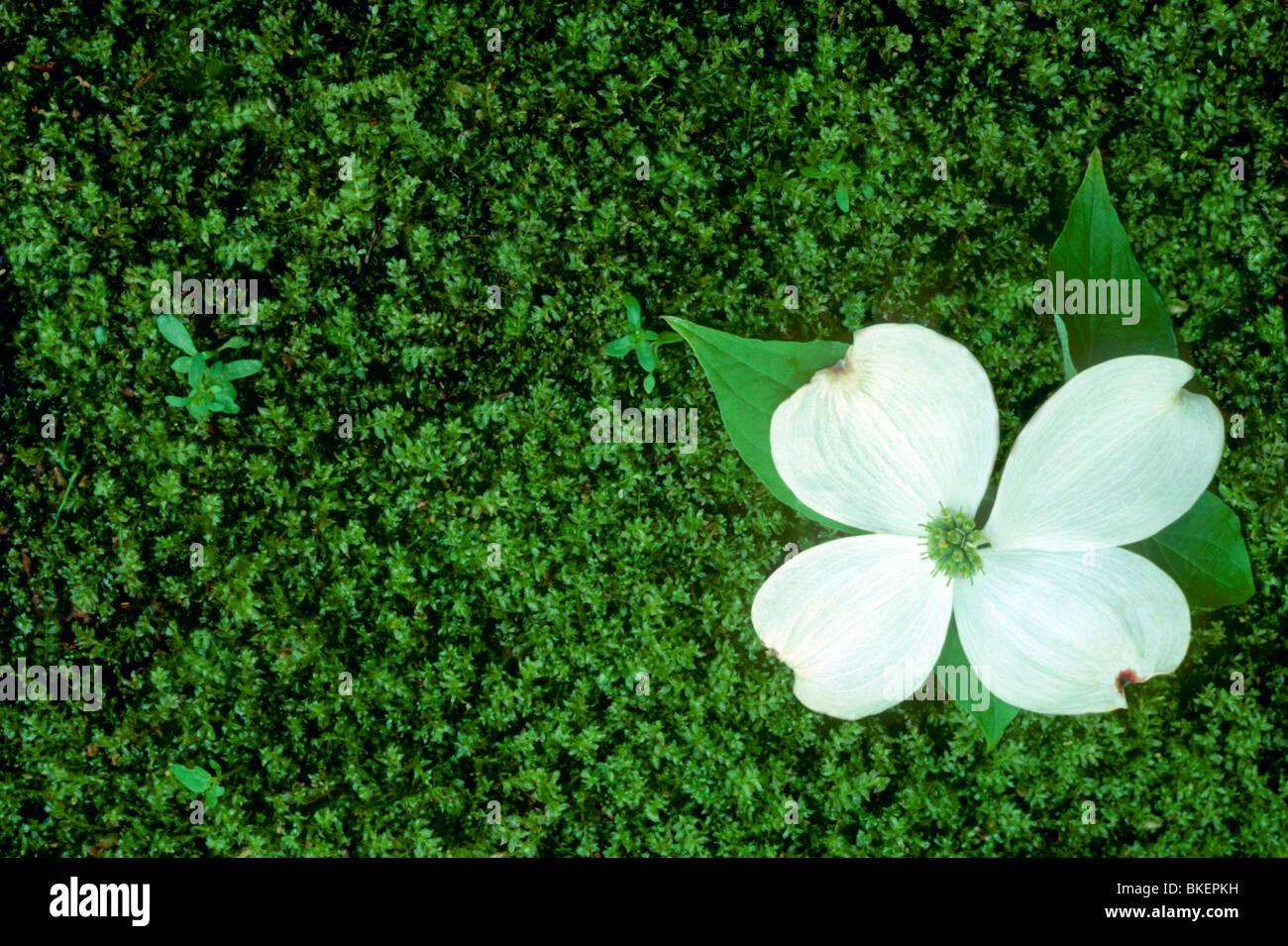 63f6c6c570 Dogwood flower lands intact on the green mossy garden floor below ...