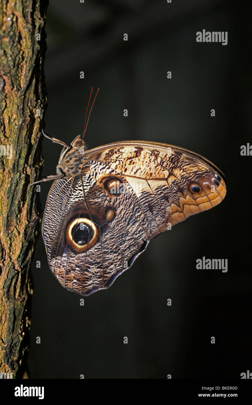 Owl butterfly. - Stock Image