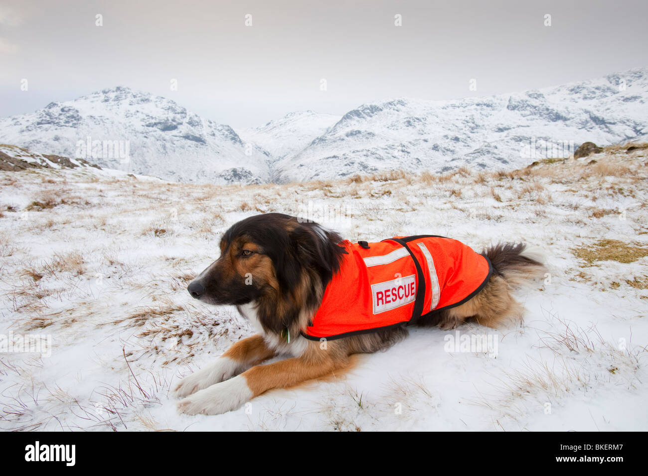 A SARDA (Search and Rescue Dog Association) dog on a search for a missing walker in the Lake District UK - Stock Image