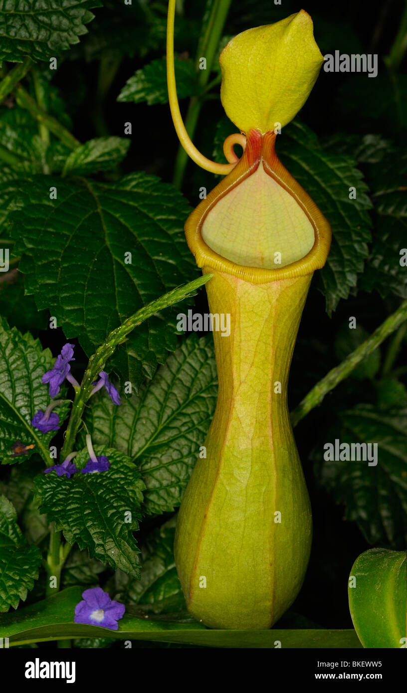 Young Pitcher Plant Nepenthes carnivorous tropical plant with Purple Porterweed flowers - Stock Image