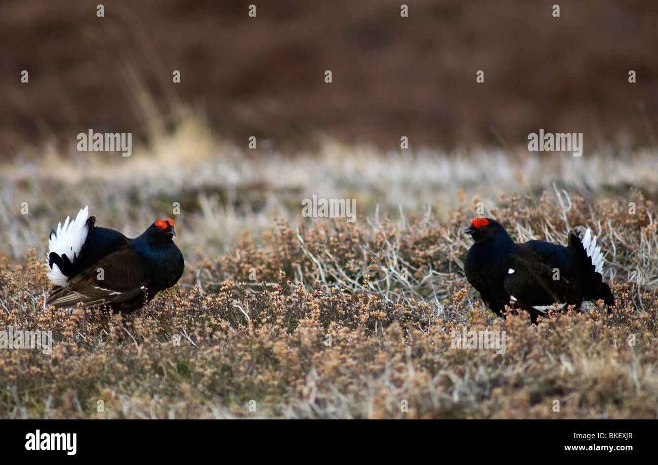 A pair of Black Grouse at a traditional Lek sit in the Scottish Highlands.  SCO 6185 Stock Photo