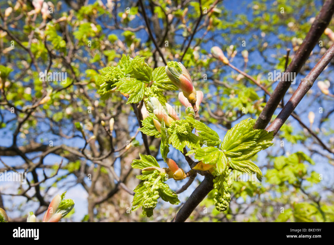 Buds and leaves emerging from a Sycamore tree in spring in Ambleside UK. - Stock Image