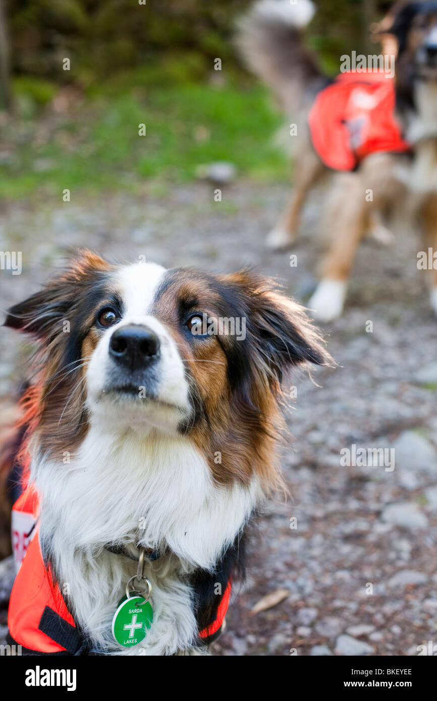 Accredited Search dogs used by handlers of the Search and Rescue Dog Association. - Stock Image
