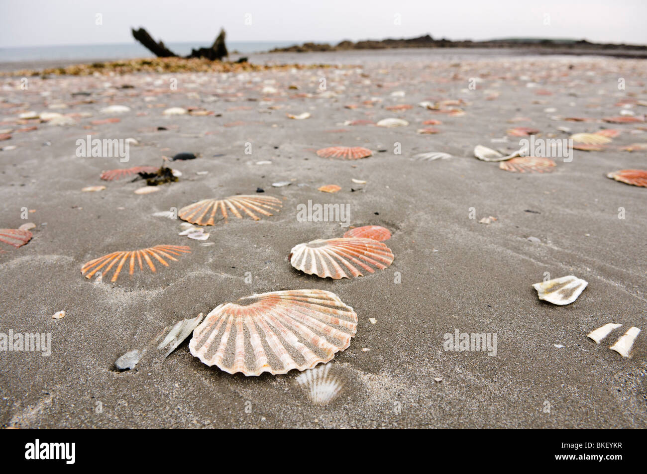 Scallop shells lying on a sandy beach, shipwreck in background - Stock Image