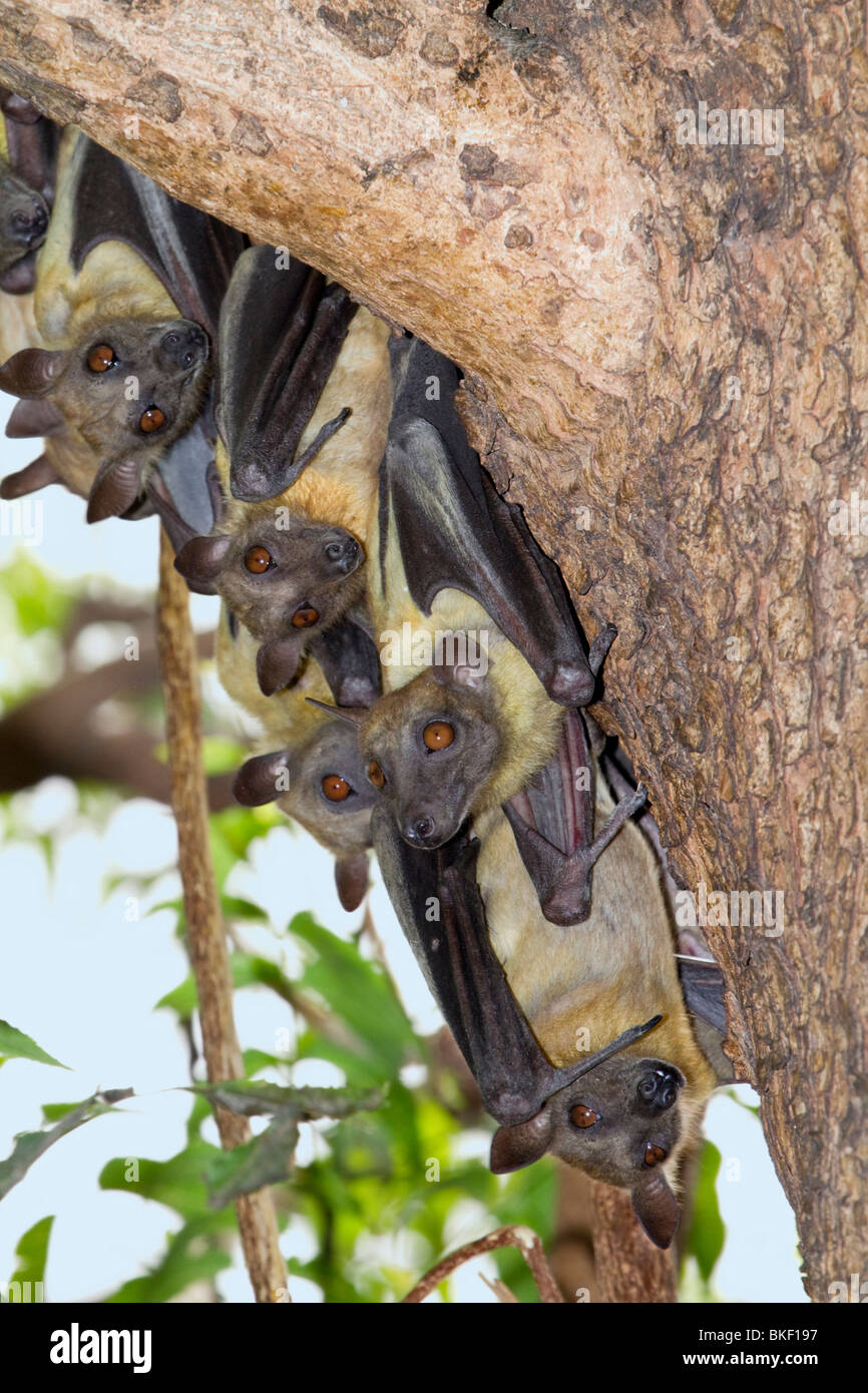 A colony of African straw-colored fruit bats (Eidolon helvum) - Stock Image