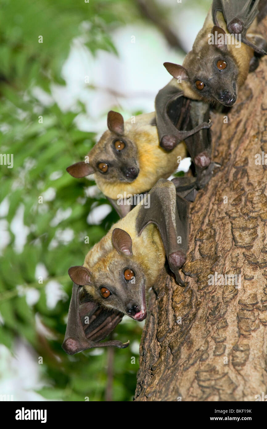A colony of African straw-colored fruit bats (Eidolon helvum). - Stock Image