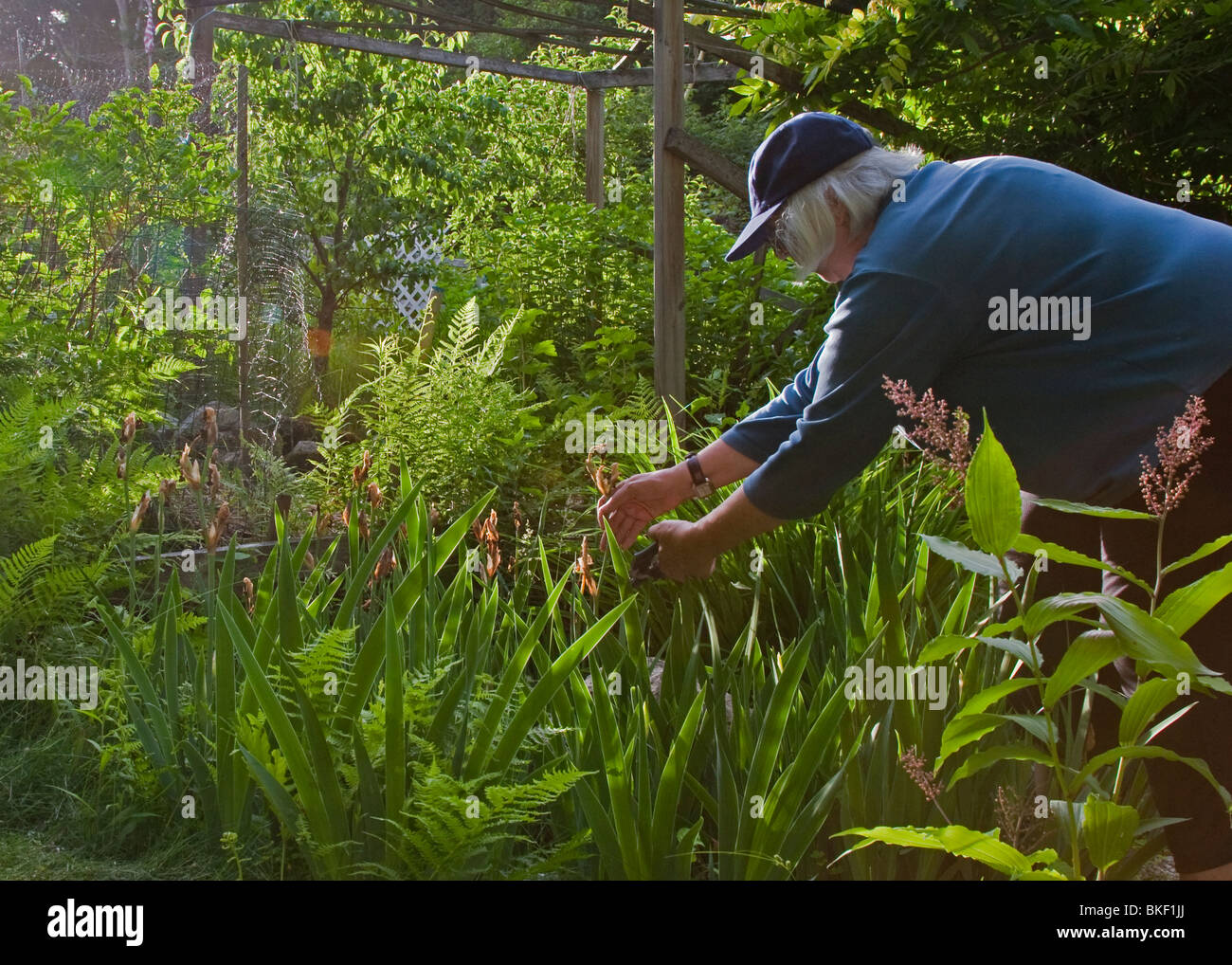 Caucasian female gardener trims plants in garden - Stock Image
