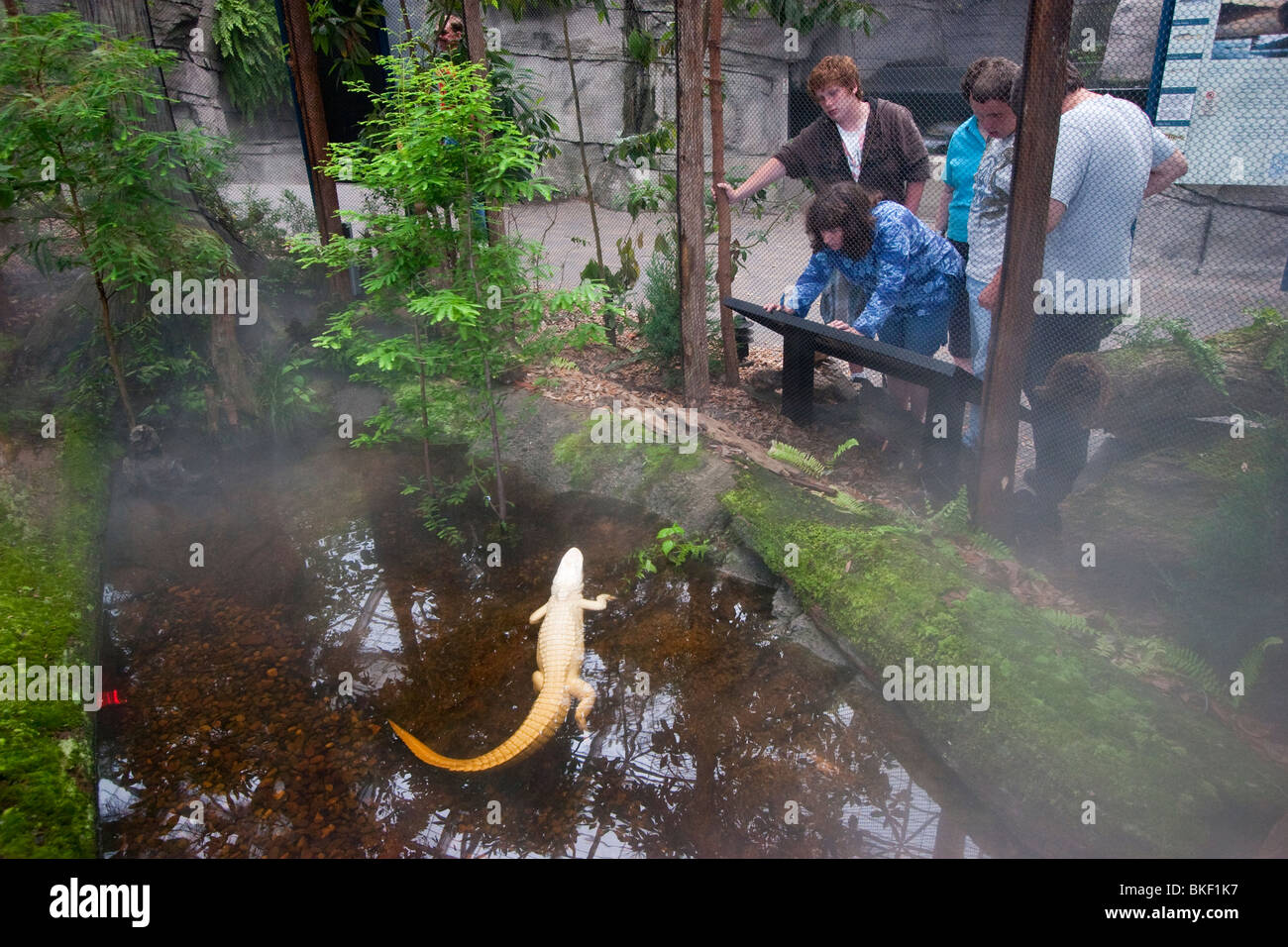 Family watches albino alligator, Luna, on exhibit at the North Carolina Aquarium at Fort Fisher - Stock Image