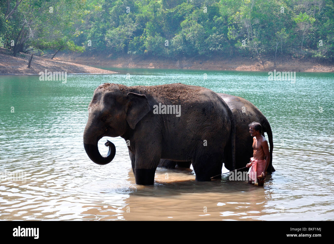 Elephants and Mahout - Stock Image