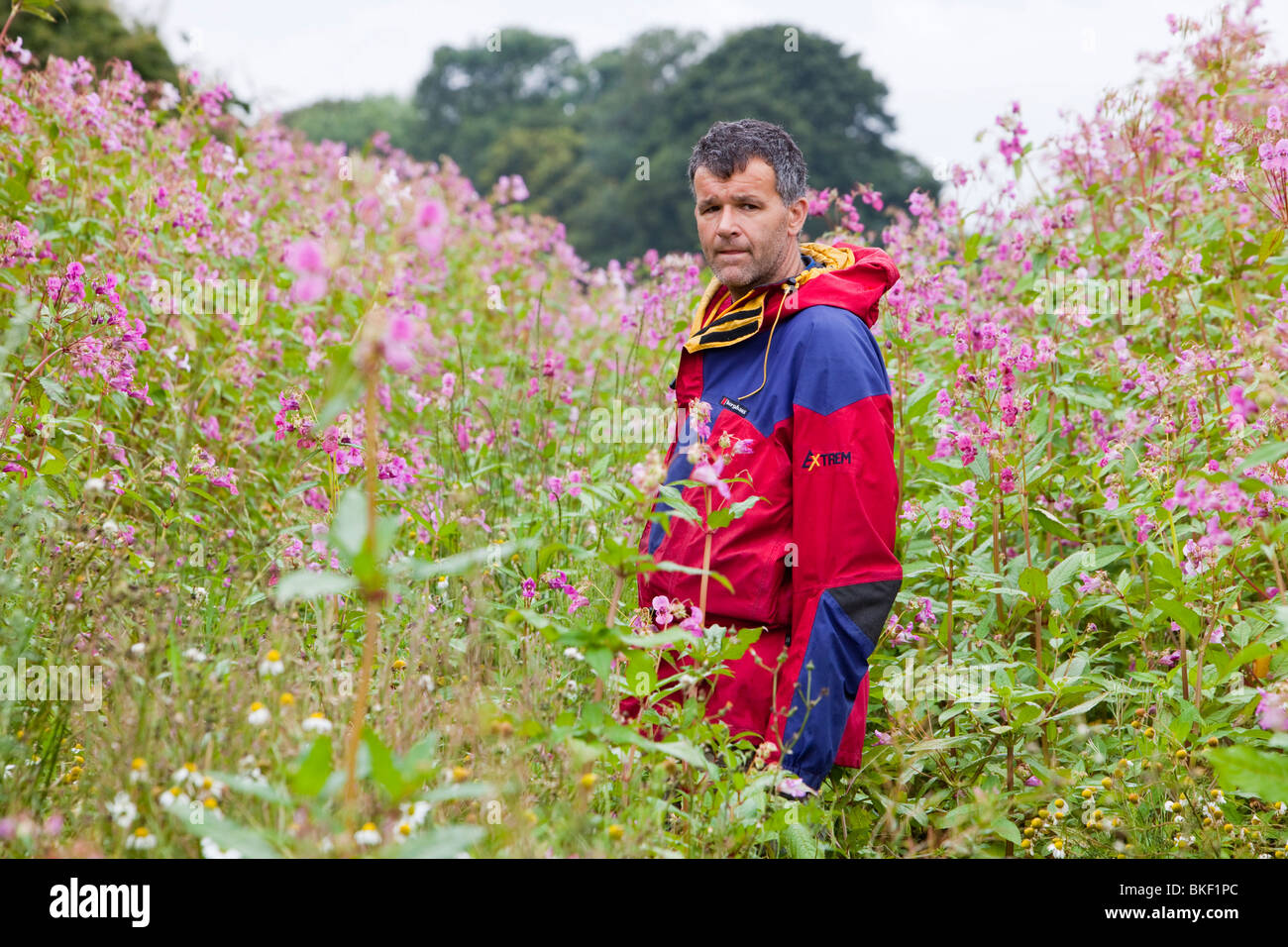 Dr Jeff Warburton from Durham University Geography Department walks through the highly invasive foreign plant, Himalayan - Stock Image