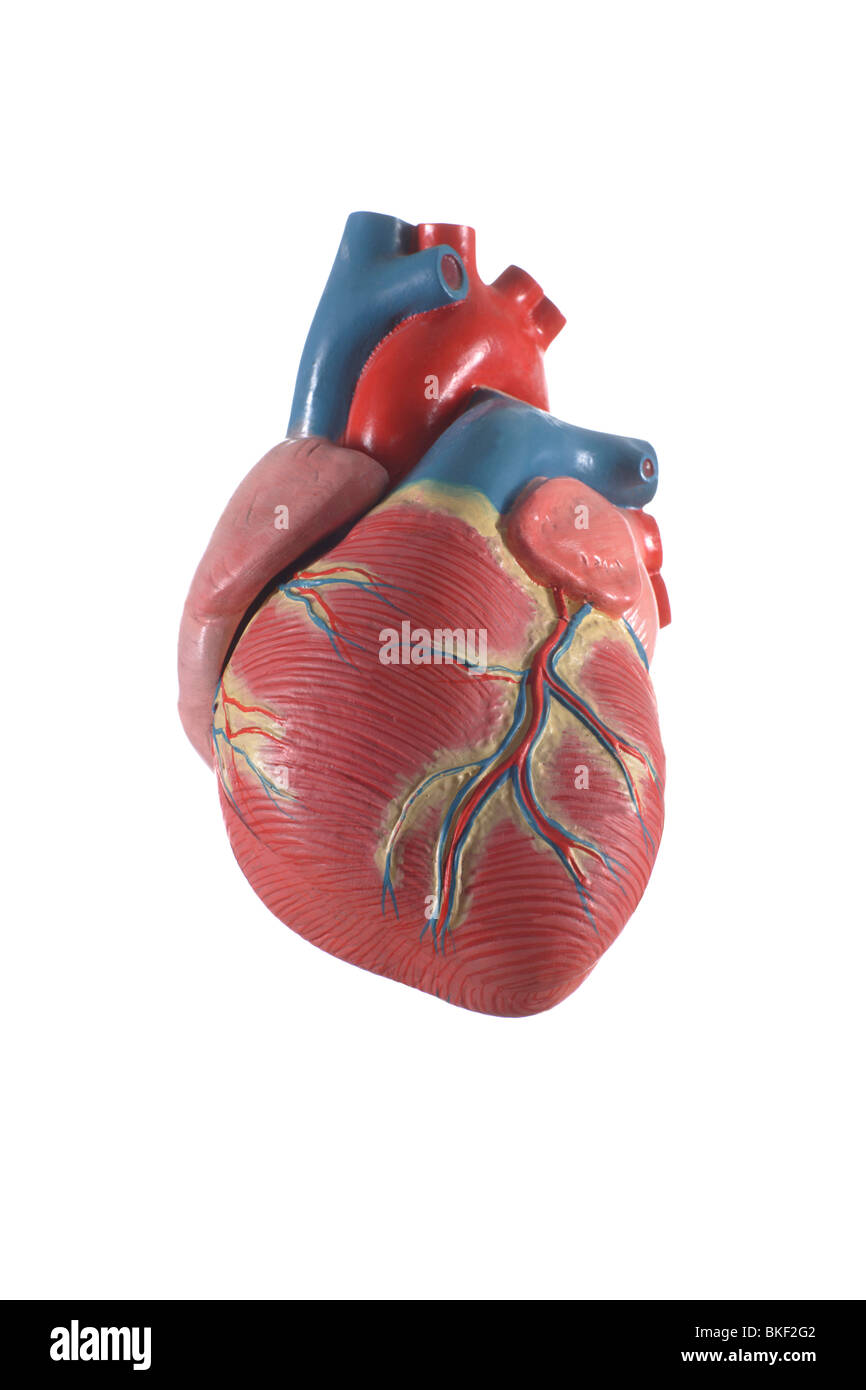 Anatomical Heart Model Stock Photos Anatomical Heart Model Stock