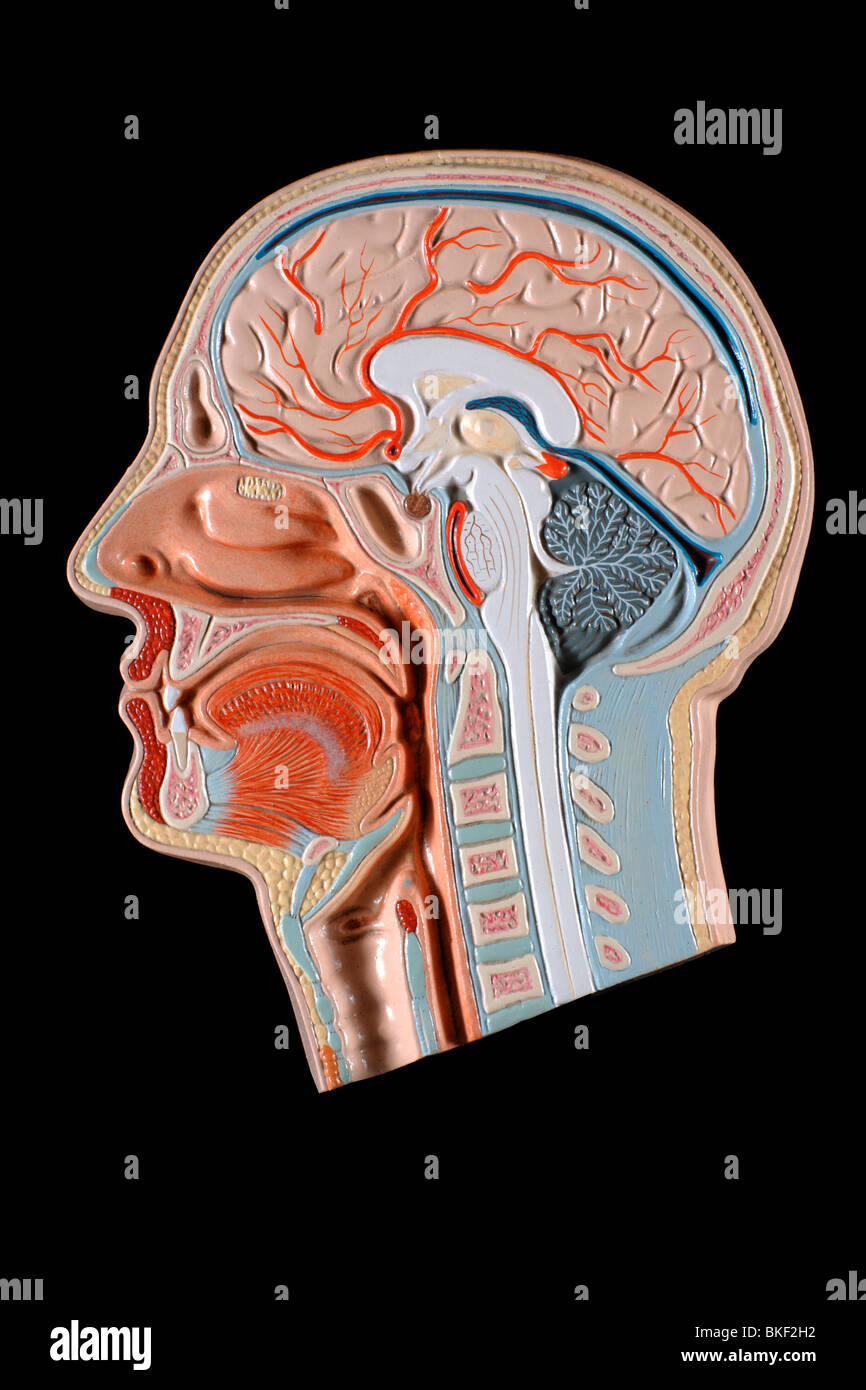 anatomical models of head - Stock Image