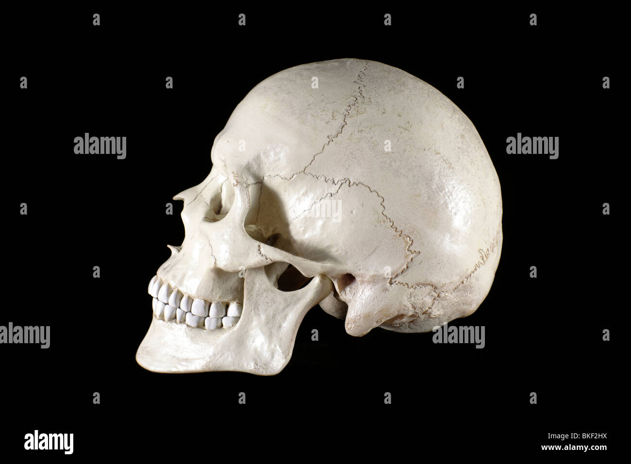 anatomical models of the skull - Stock Image