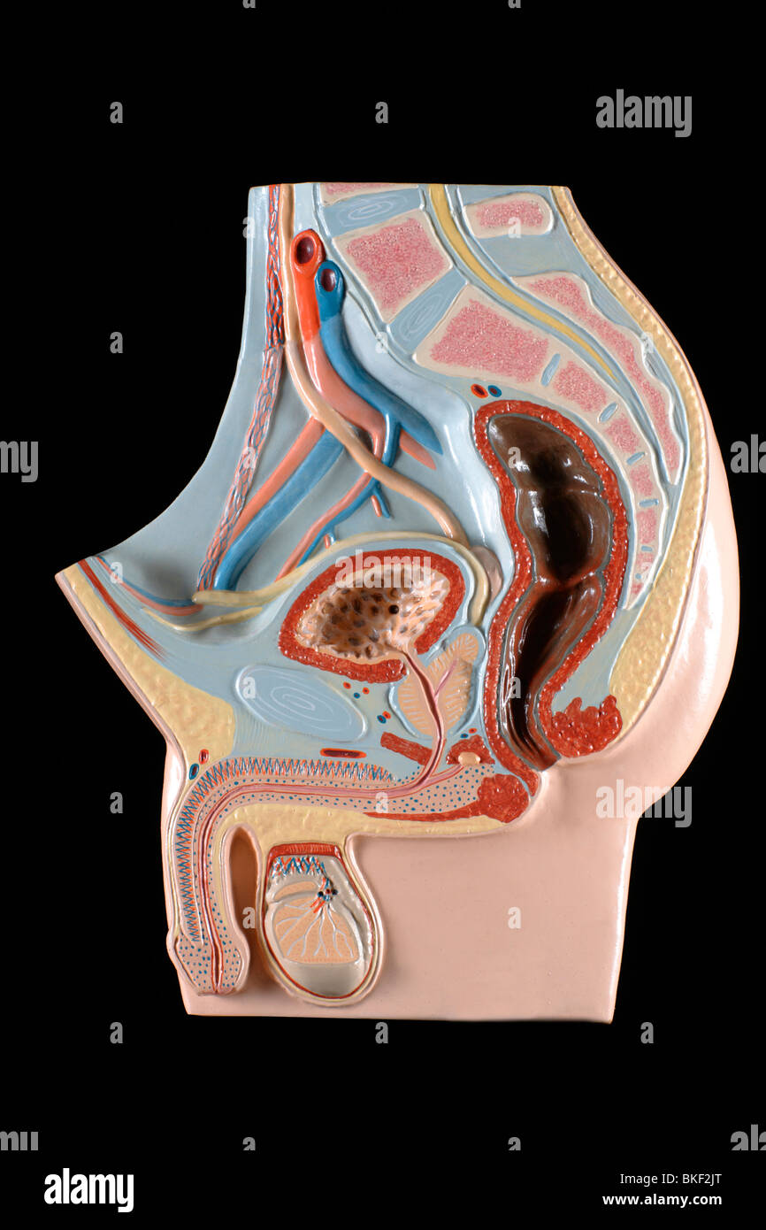 Anatomical Model Of Male Genital Organs Stock Photo 29220208 Alamy