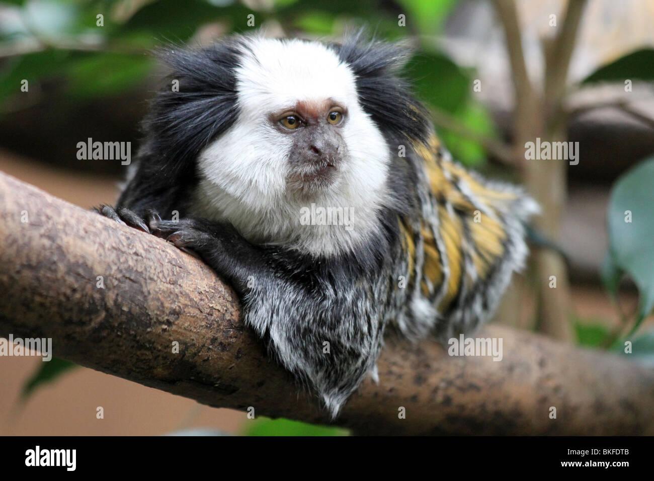 White-headed Marmoset Callithrix geoffroyi Taken at Chester Zoo, UK - Stock Image