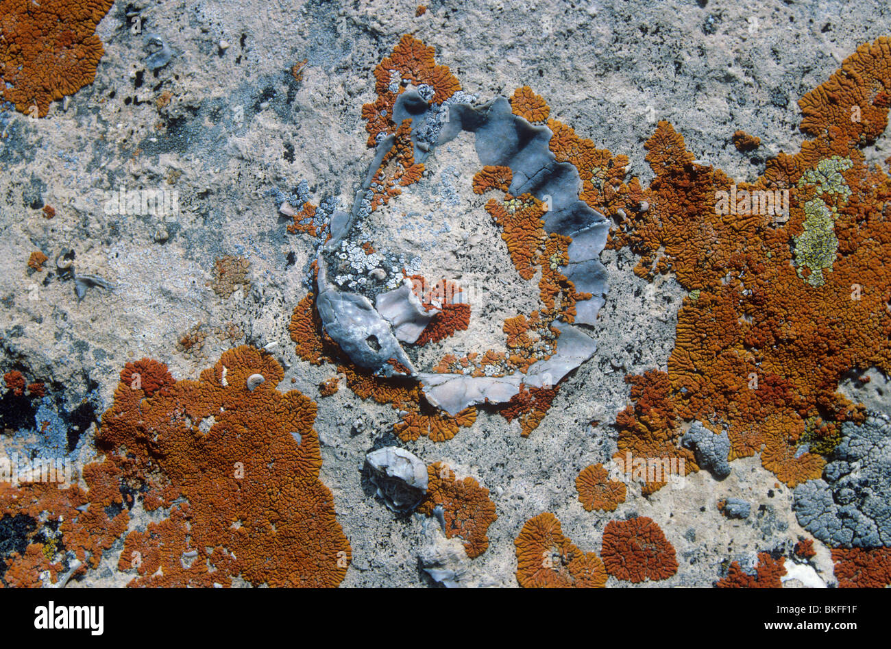 Fossil brachiopod, Meekella, in Kaibab Limestone, with colorful lichens, at Grand Canyon National Park, Arizona, - Stock Image