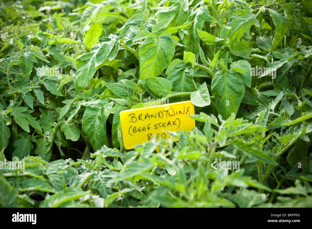 Brandywine Tomato Plants - Stock Image