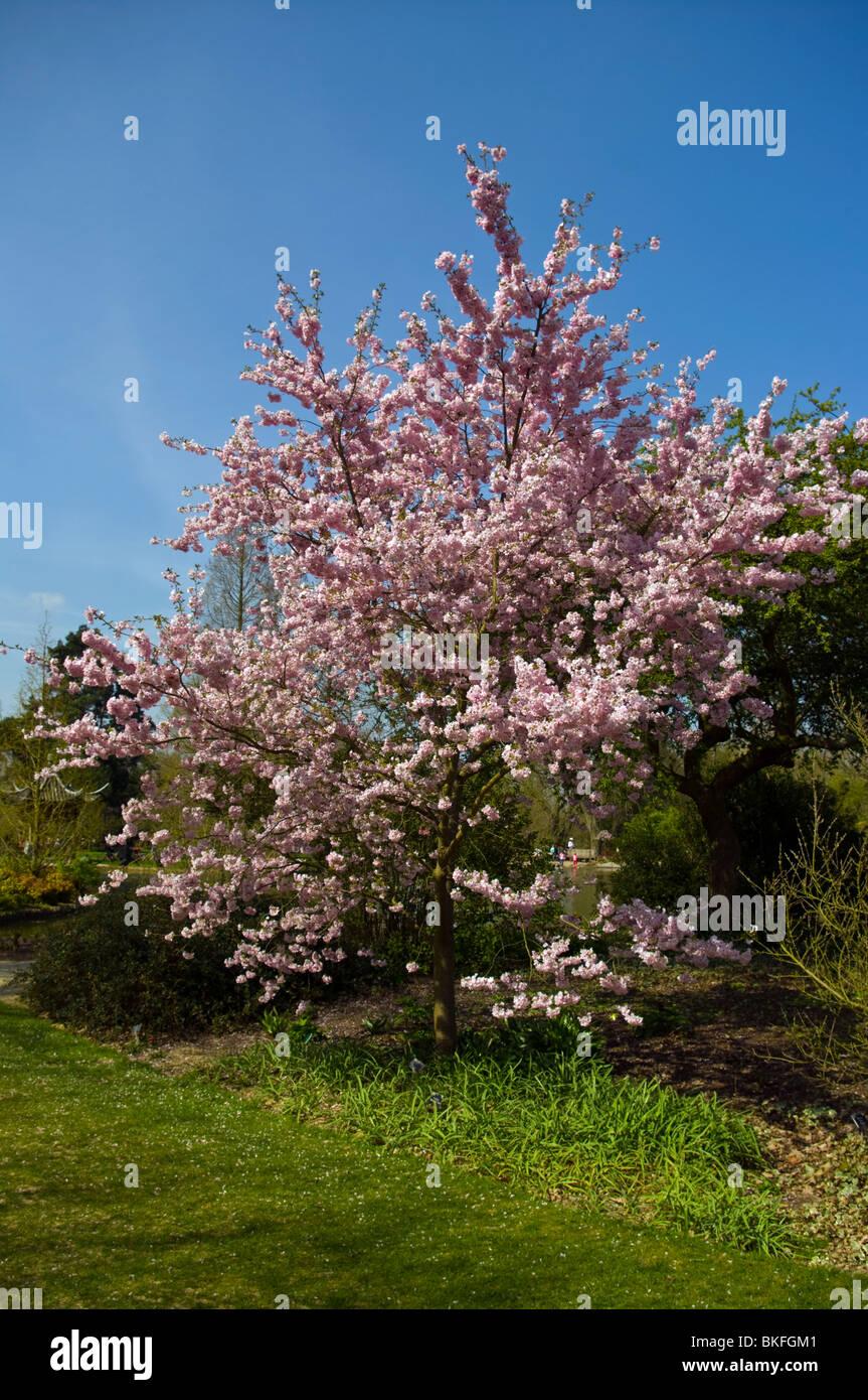 Ornamental Flowering Cherry Tree Prunus Accolade In Full Blossom