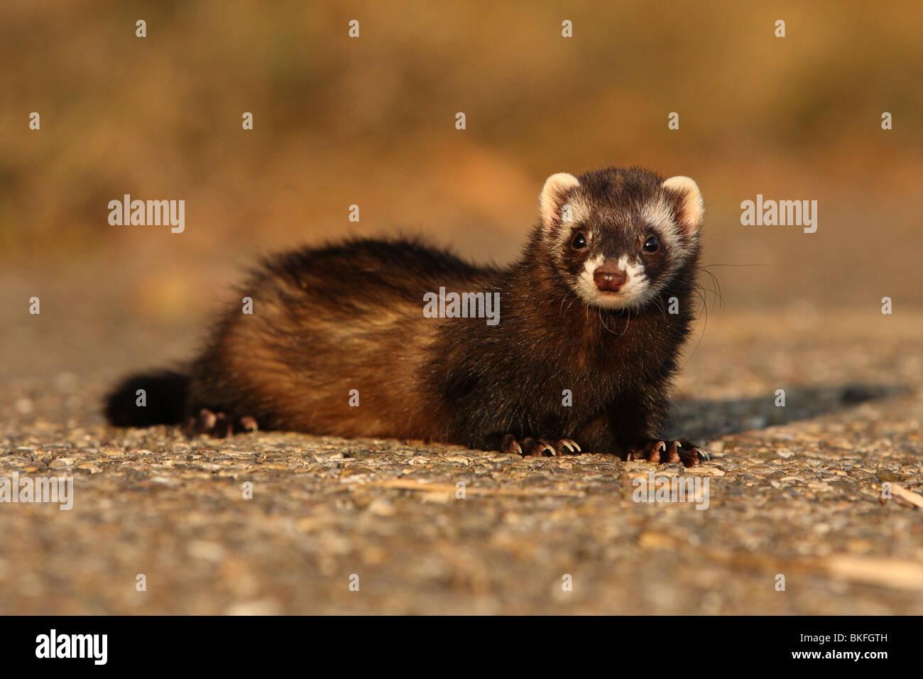 Frettchen / ferret - Stock Image