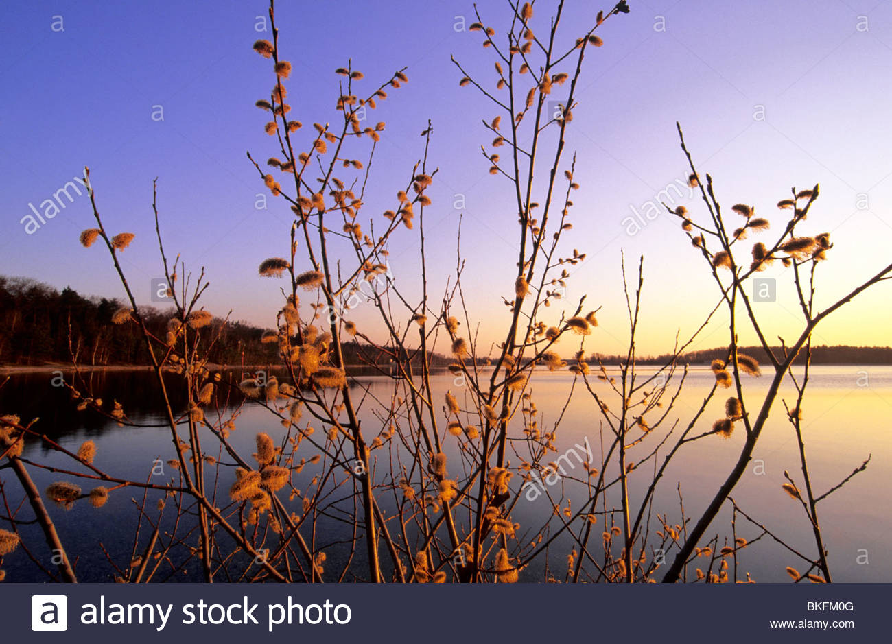 willow catkin and lake in Germany/ Naunhof Stock Photo