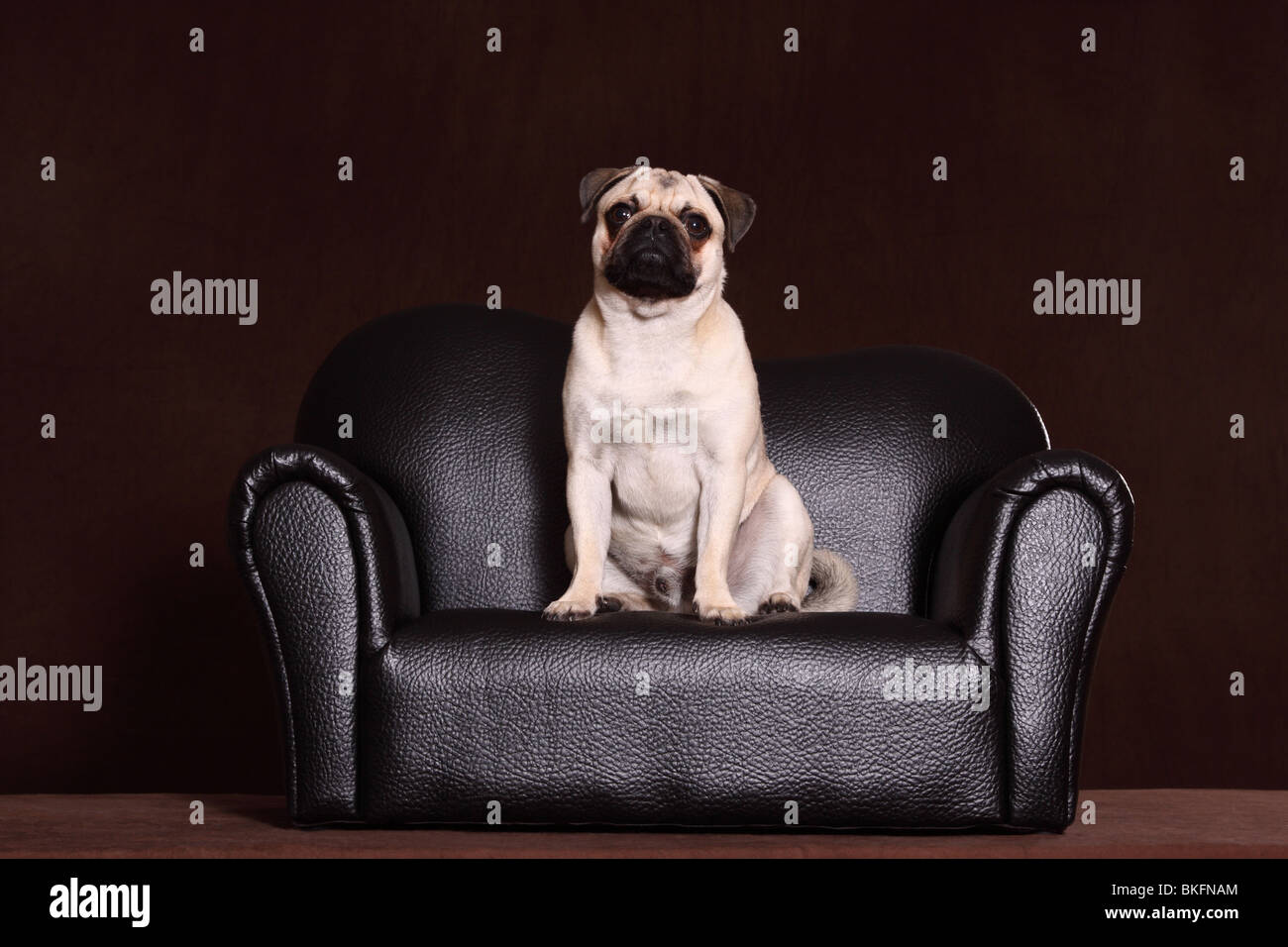 Mops / pug - Stock Image