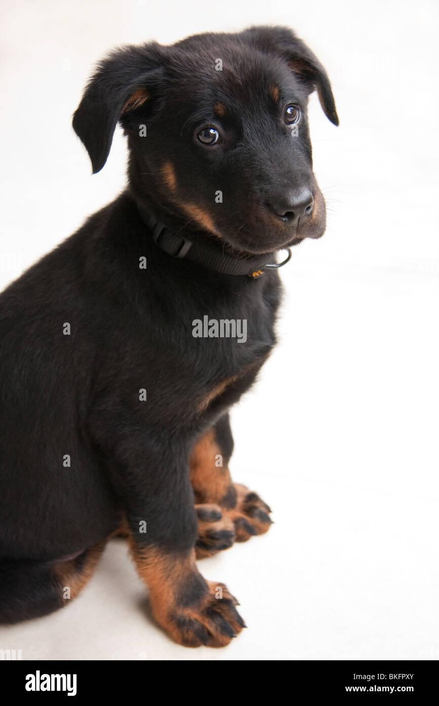 Young Beauce Shepherd - Stock Image