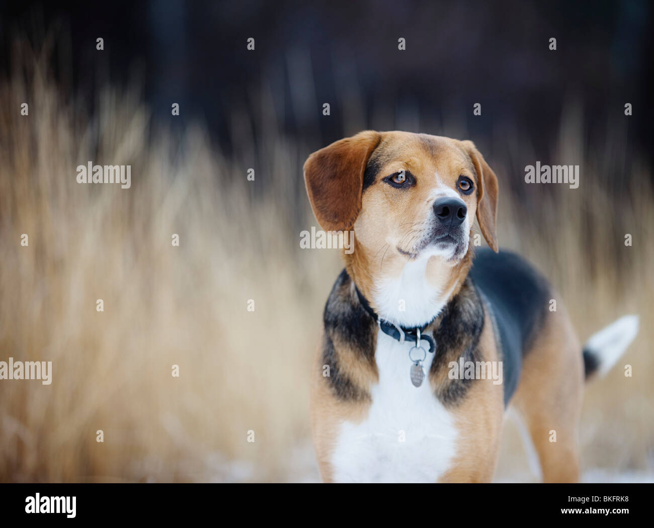 Beagle - Stock Image