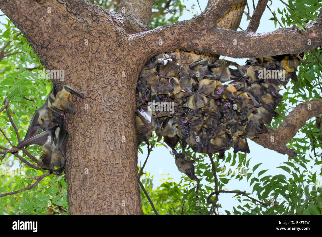 A colony of African straw-colored fruit bats (Eidolon helvum) in a tree. - Stock Image