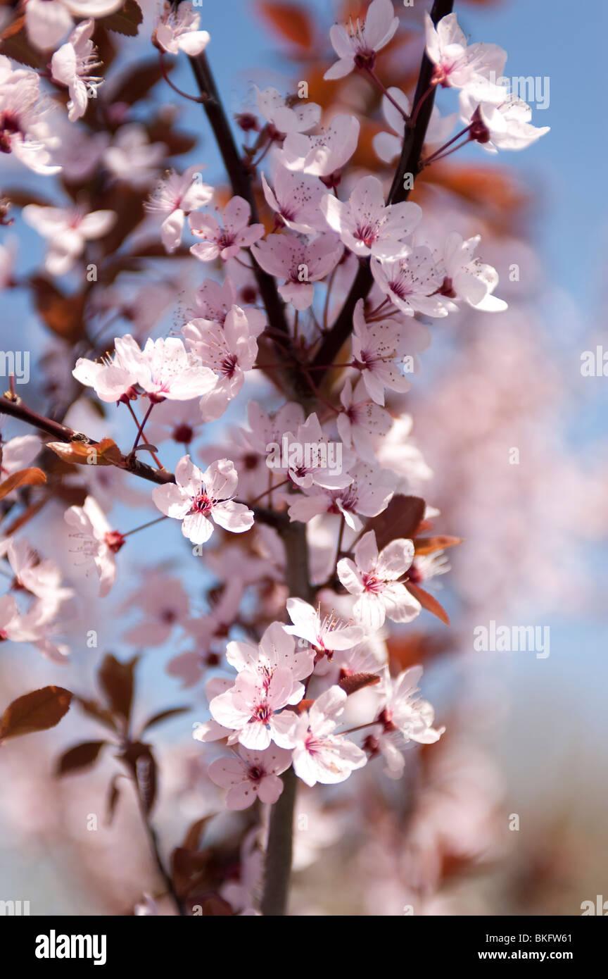 tree cherry flower spring season branch arbre fleur saison ete stock